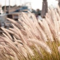 Ornamental Grass Pruning Tips