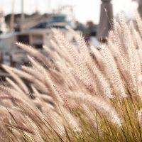 Ornamental Grass Pruning Tips