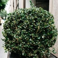 Shrub Pruning Tips